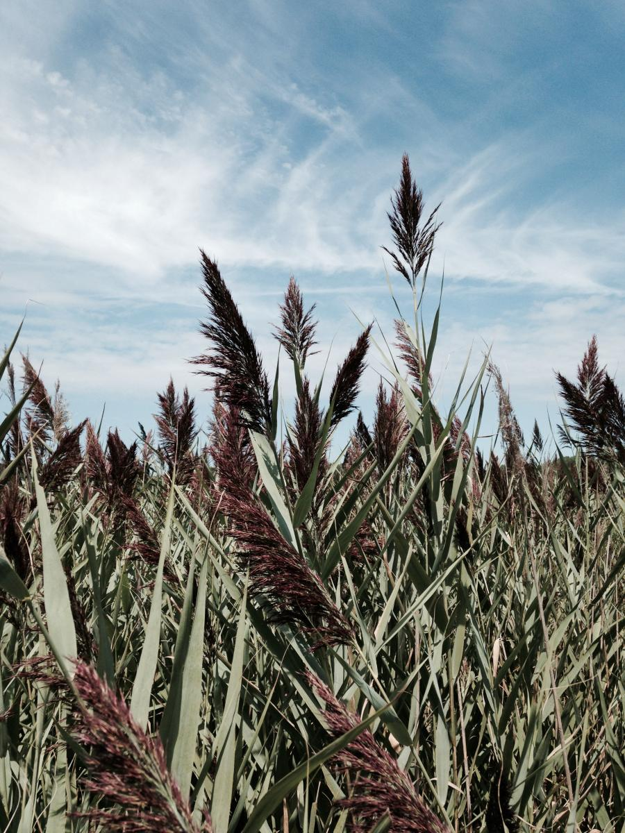 Green Phragmites reeds with brownish-purple tops