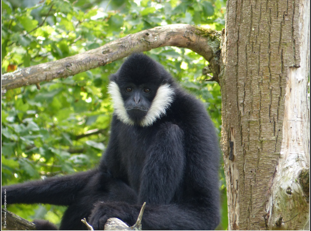 Black primate with furry white cheeks sitting on a tree