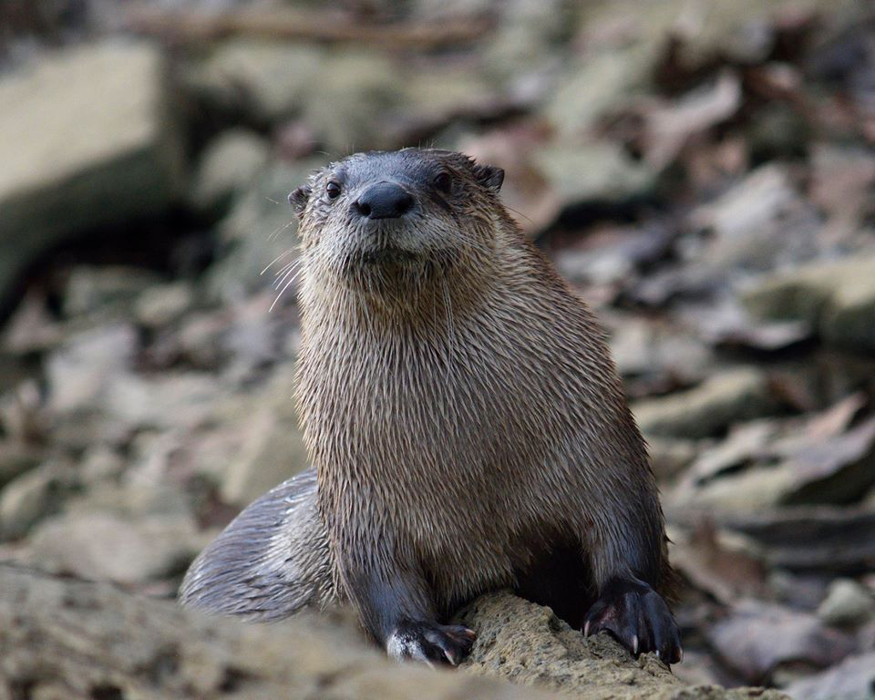 Brown river otter on rocky beach
