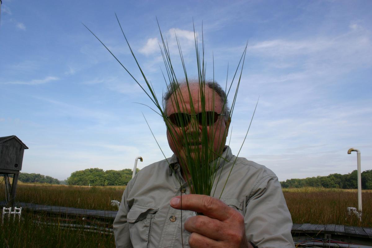Bert Drake holding up a fistful of marsh plants