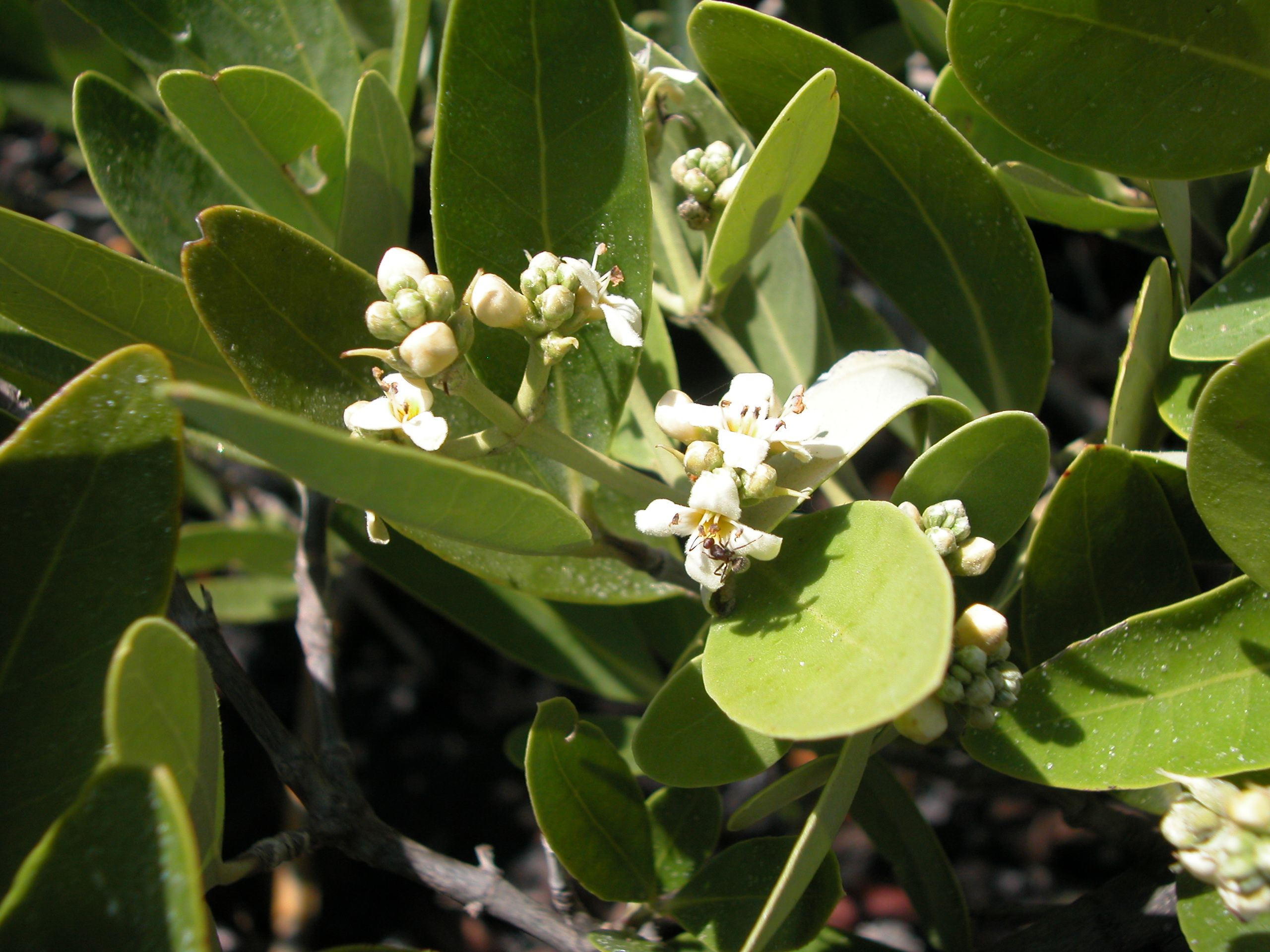 black mangrove flowers