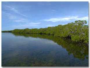The fringing mangroves at Twin Cays, Belize