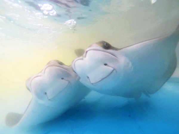 two cownose rays