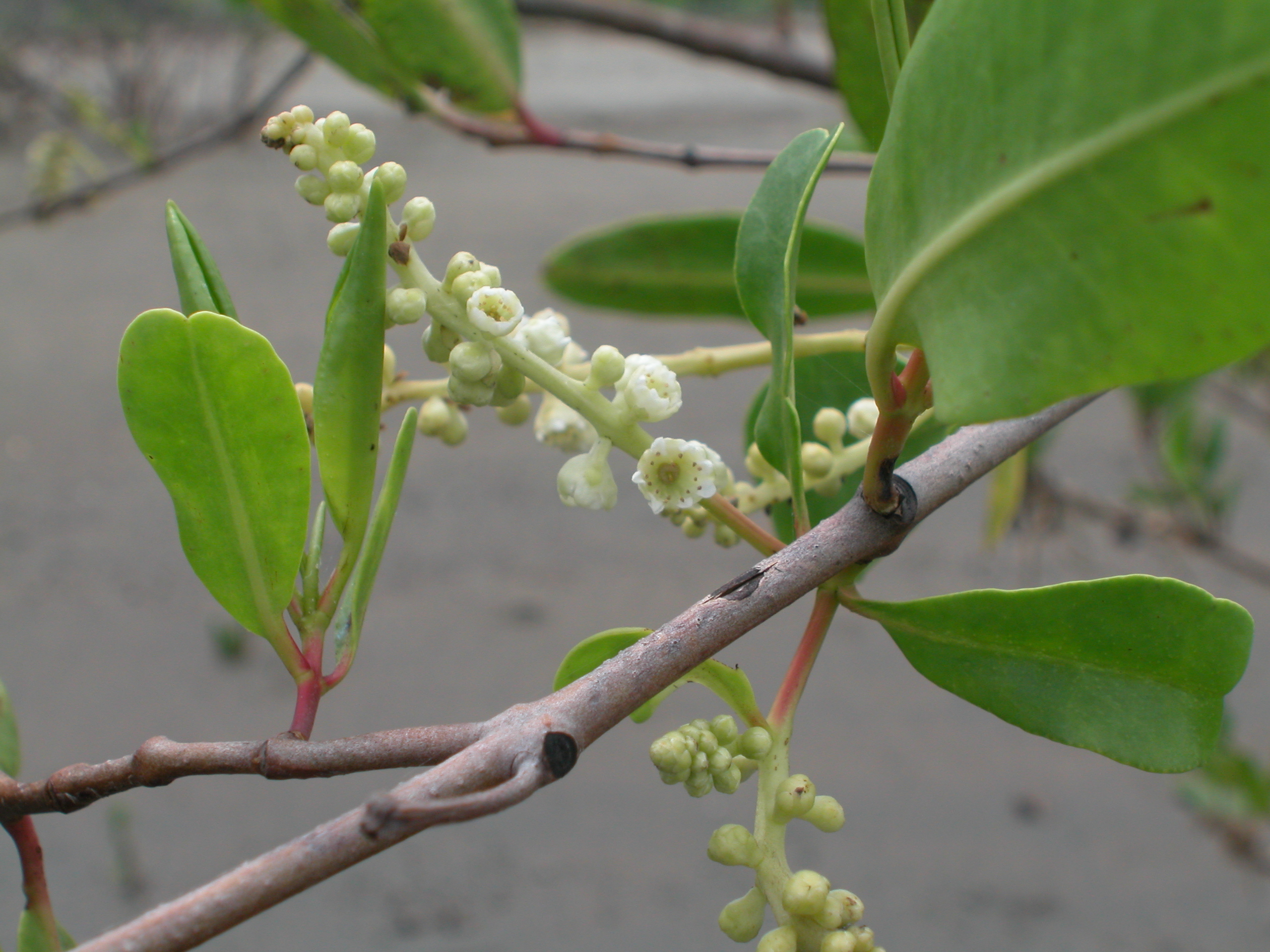 white mangrove flowers