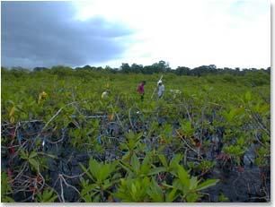 Mangroves in Bocas del Toro, Panama