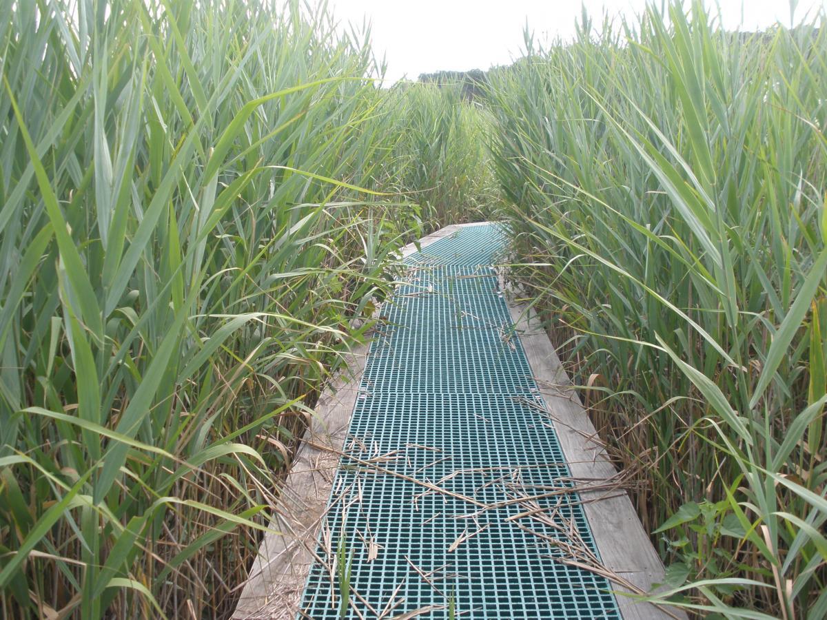 Boardwalk with invasive Phragmites reeds on both sides
