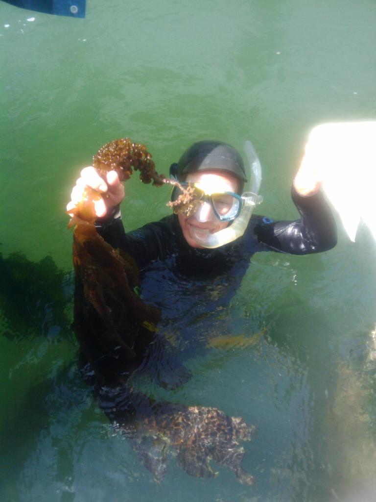Diver pulling up kelp
