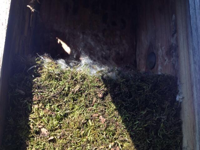 photo of a chickadee nest