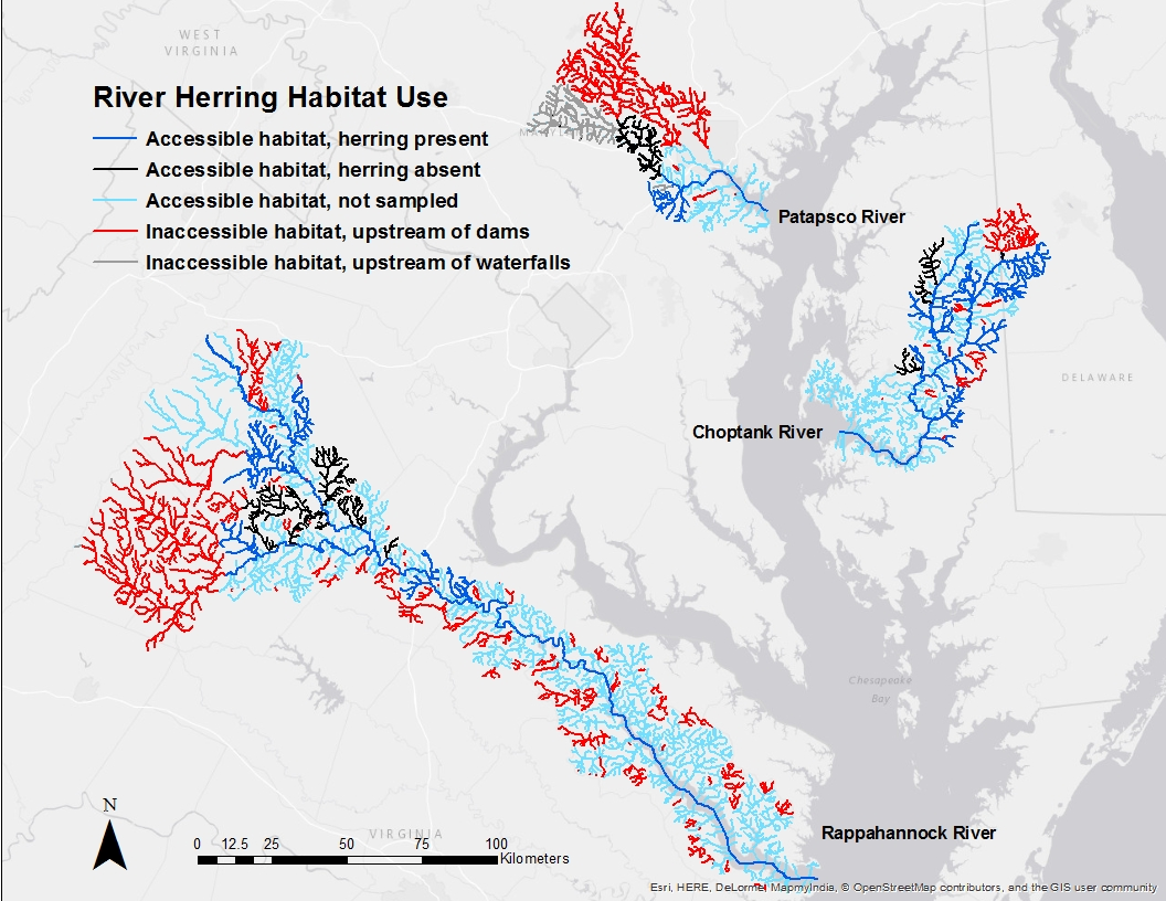 river herring in the chesapeake bay map