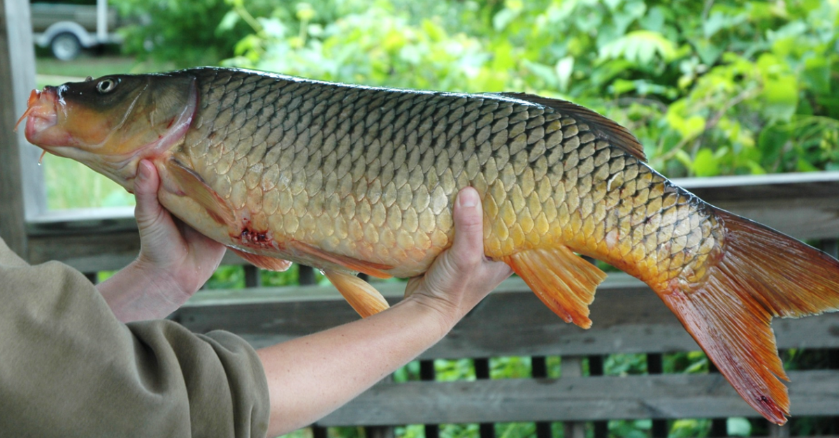 Tagged common carp