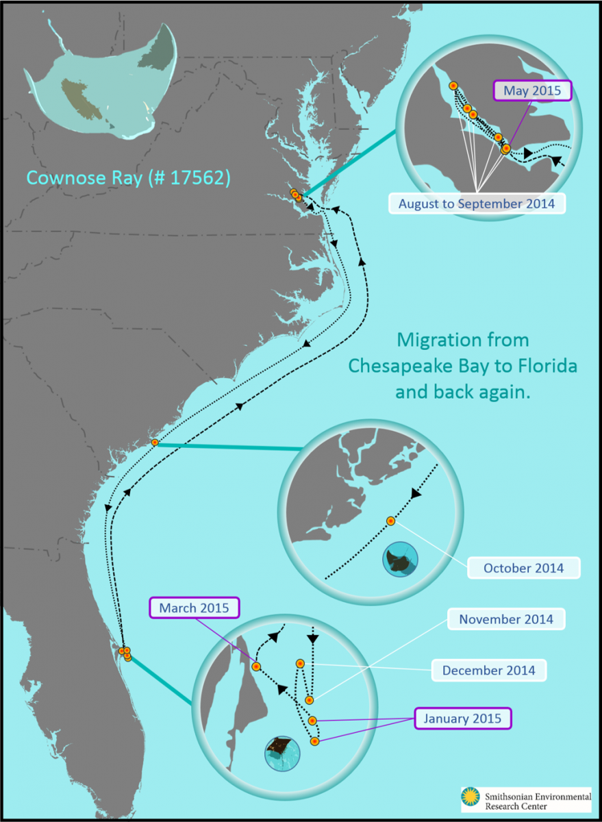 crablab_cownose_ray_17562_migration.png