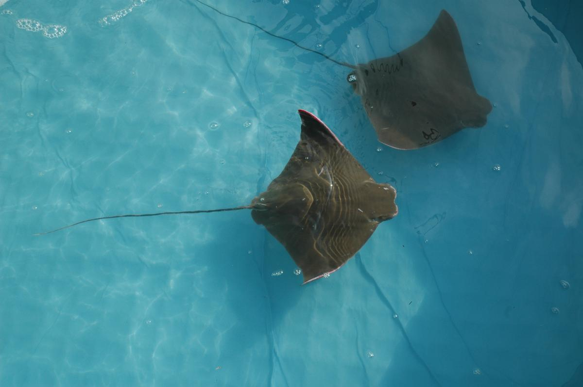 Swimming Cownose Rays