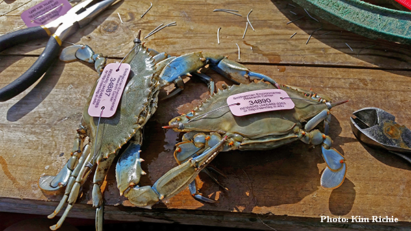 Two blue crabs with pink SERC tags