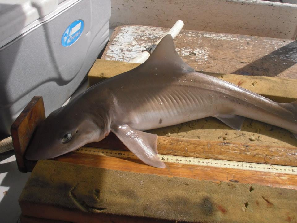 Smooth dogfish shark being measured