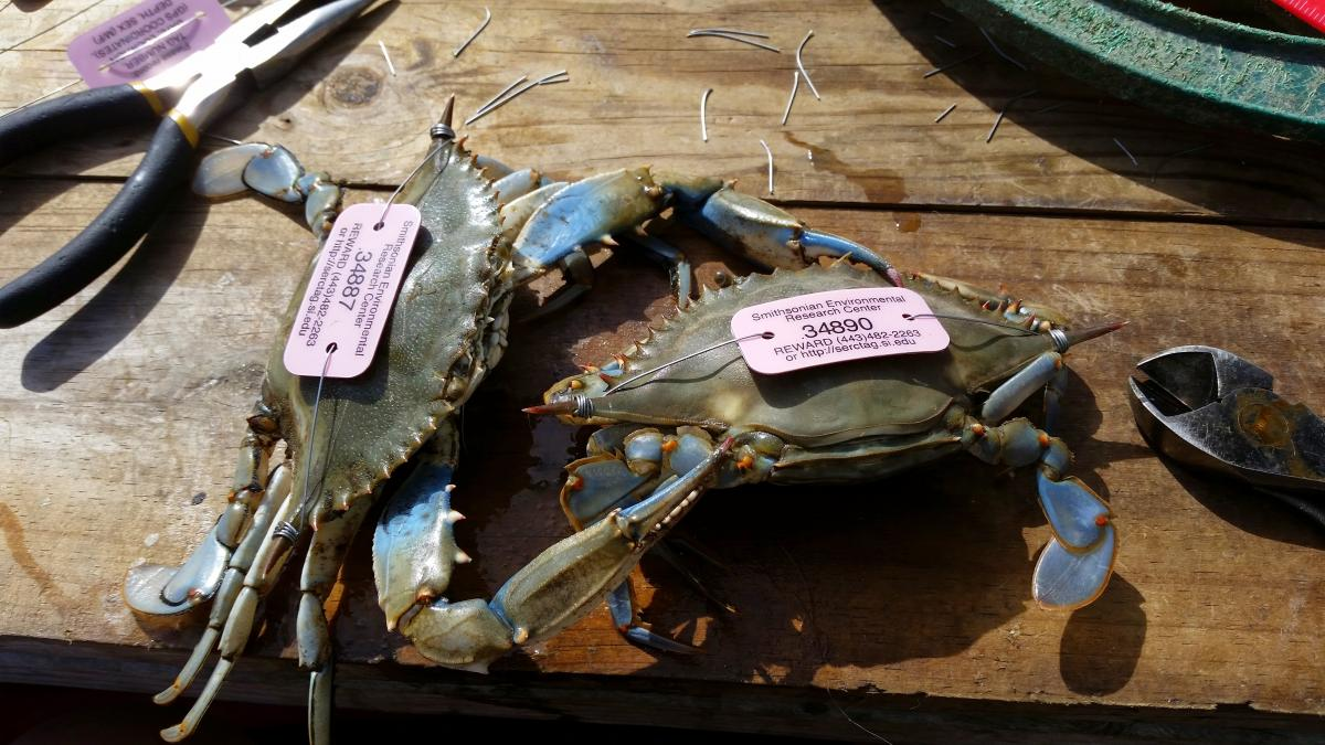Two blue crabs on a wooden table with pink tags