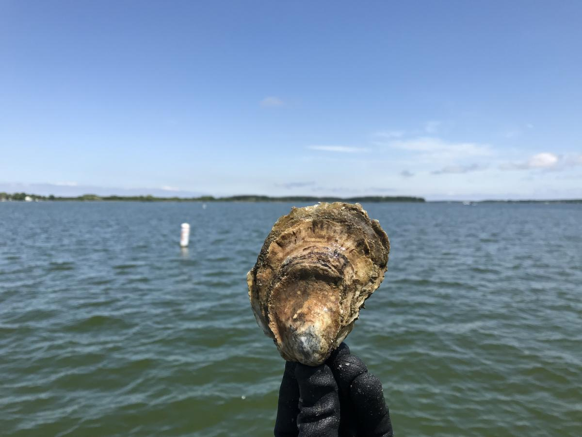 A gloved hand holds a light brown oyster vertically above the water