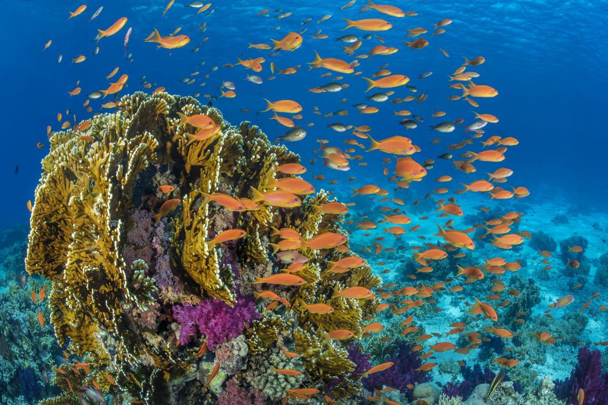Dozens of orange fish swarm around a multicolored coral reef