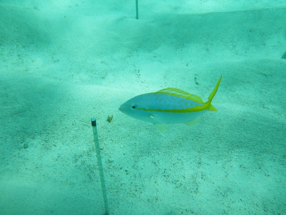 yellowtail_squid_pop.jpg