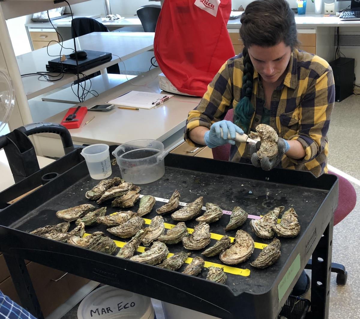 shucking oysters in the lab
