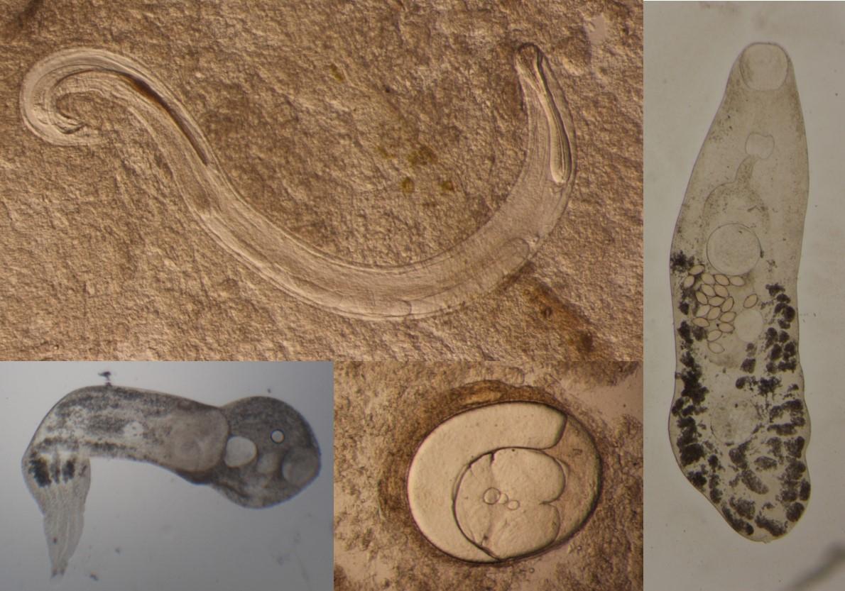 mummichog parasite diversity