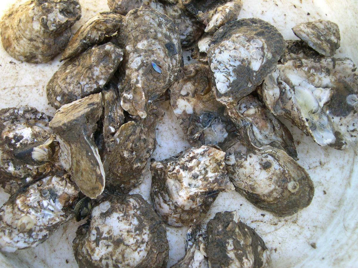 oysters ready for sale