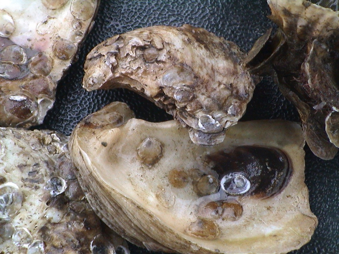 Oyster spat settled on adult shells