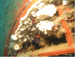 biofouling on  a commercial vessel arriving to guam.