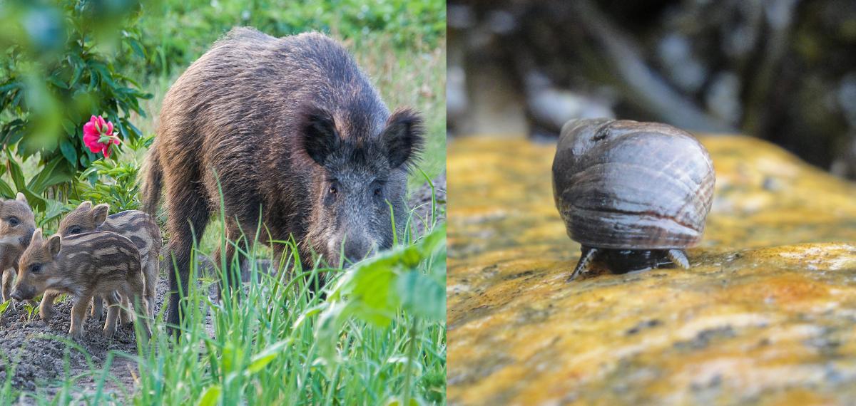 Left: Boar in field. Right: Common Periwinkle Snail