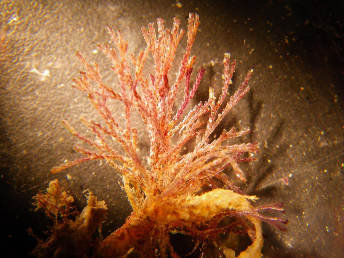 Orange branching bryozoan
