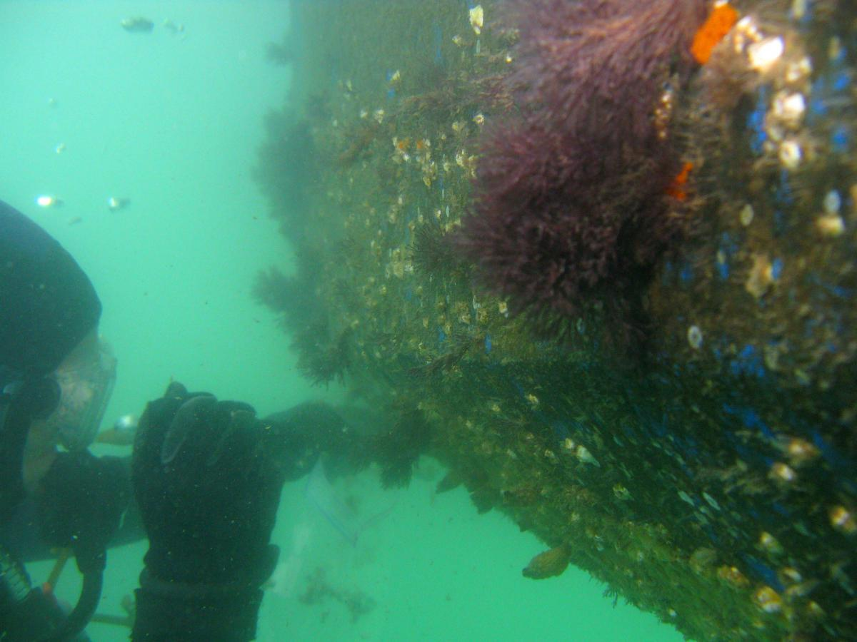 Diver sampling hull of ship with colorful marine life underwater