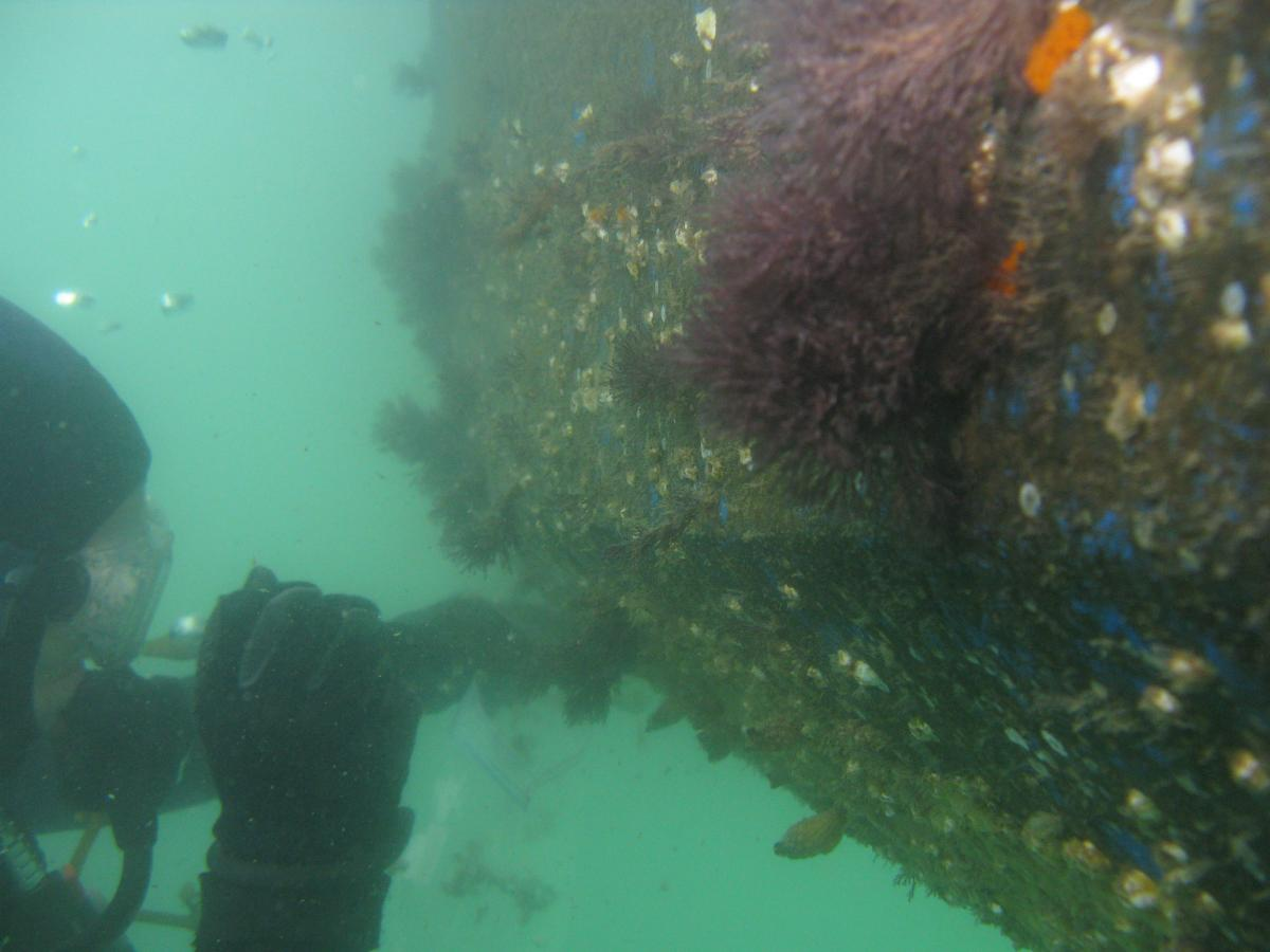 A SCUBA diving researcher samples the hull of a heavily fouled recreational boat in California.
