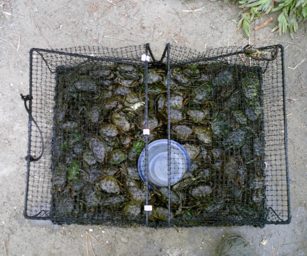 trap full of green crabs