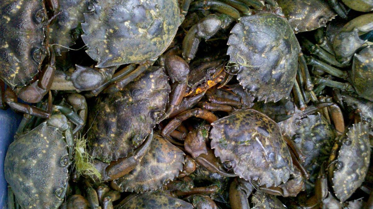 Green crabs at Stinson Beach