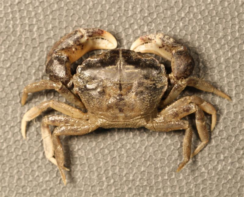 Rhithropanopeus harrisii, the White-fingered Mud Crab