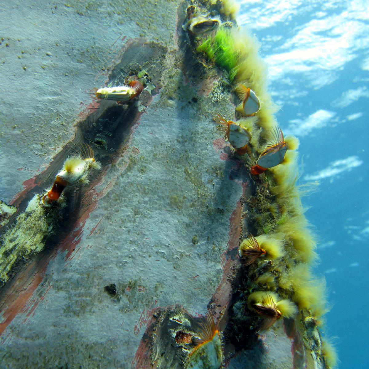 stalked barnacles on the bow of a ship