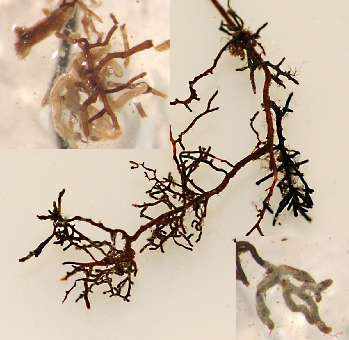 Ectomycorrhizal roots