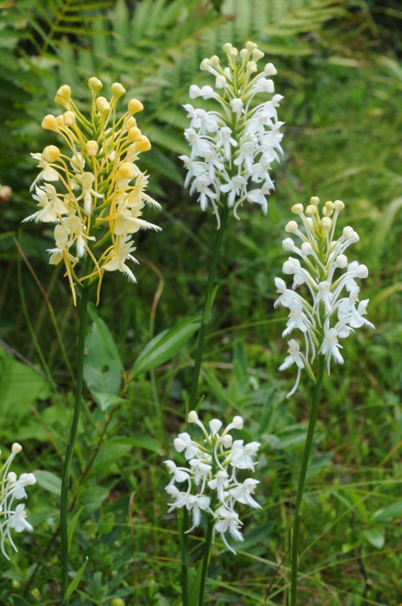 Hybrid Platanthera flowers