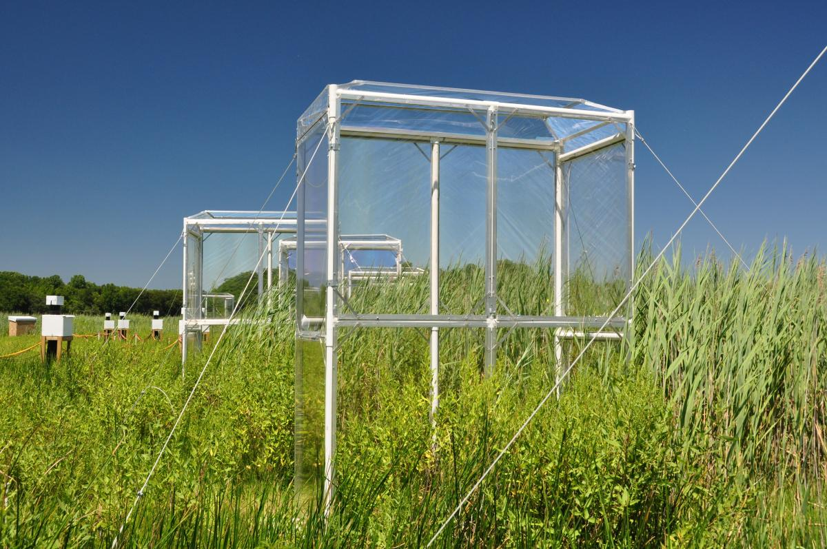 Phragmites in chambers with elevated CO2