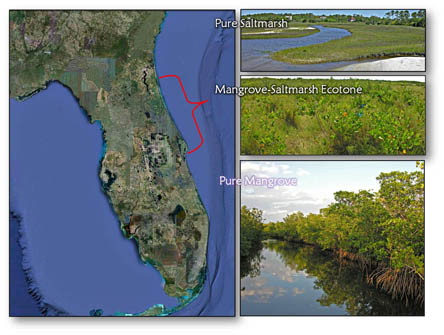 Map: saltmarsh, mangrove and mixed ecotones in Florida