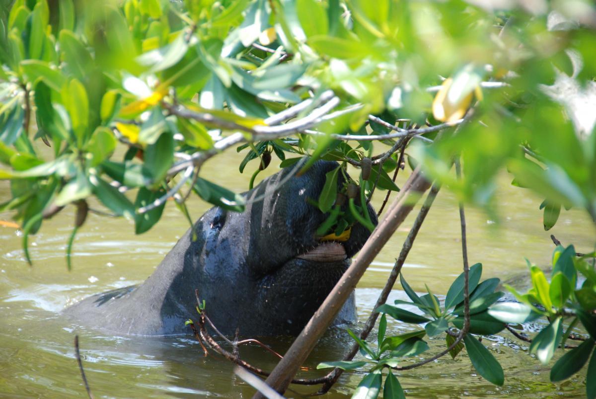 manatee eating mangrove propagules