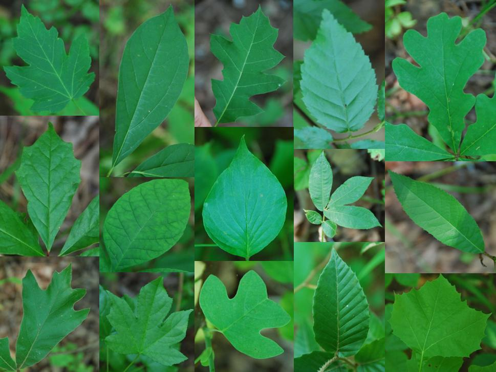 Photo collage: Leaves of different species