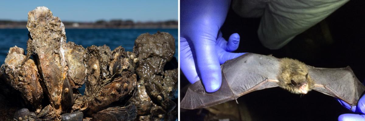 Two side-by-side photos: Closeup of oysters against Chesapeake Bay backdrop; Brown bat held by two purple-gloved hands with wings outstretched