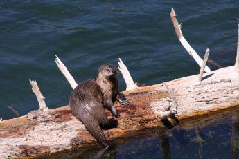 Chesapeake Bay Otter