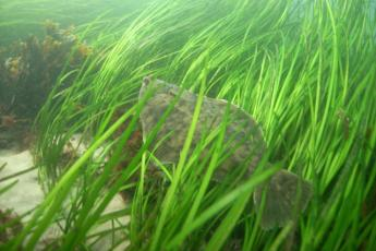fish in eelgrass bed