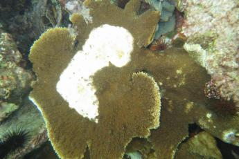 Diseased coral in Belize