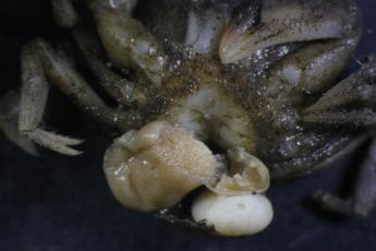 Rhithropanoeus harrisii with two mature externa from Loxothylacus panopaei the showing eggs inside.
