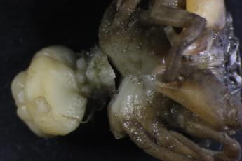 Rhithropanoeus harrisii with three mature externa and 2 virgin externa from Loxothylacus panopaei.