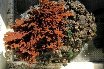 A livebryolith ballwith an orange sponge growing on it.