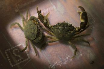 Eurypanopeus depressus, Depressed mud crab