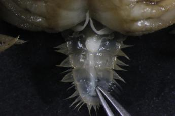feminized male Rhithropanoeus harrisii